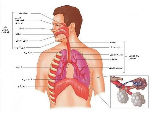 دستگاه تنفسی دستگاه تنفسی respiratory system